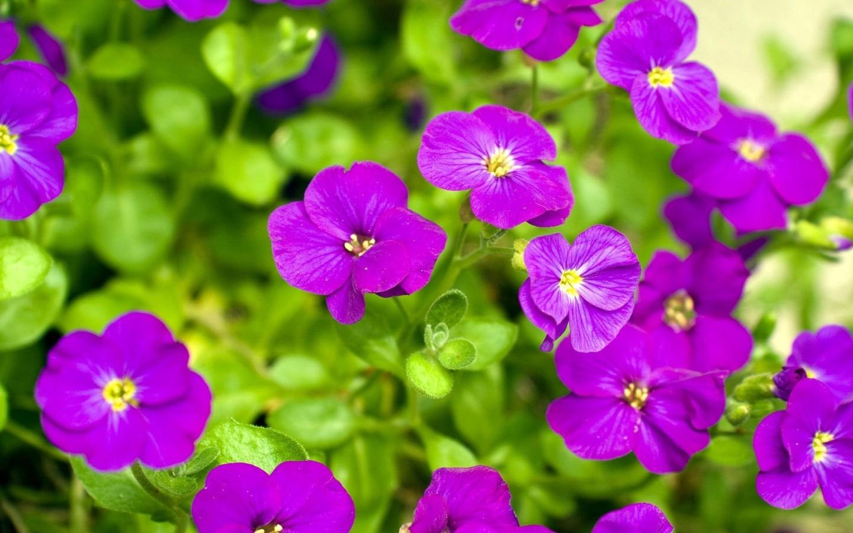 select set as desktop background desktop wallpapers nature flowers 1440x900