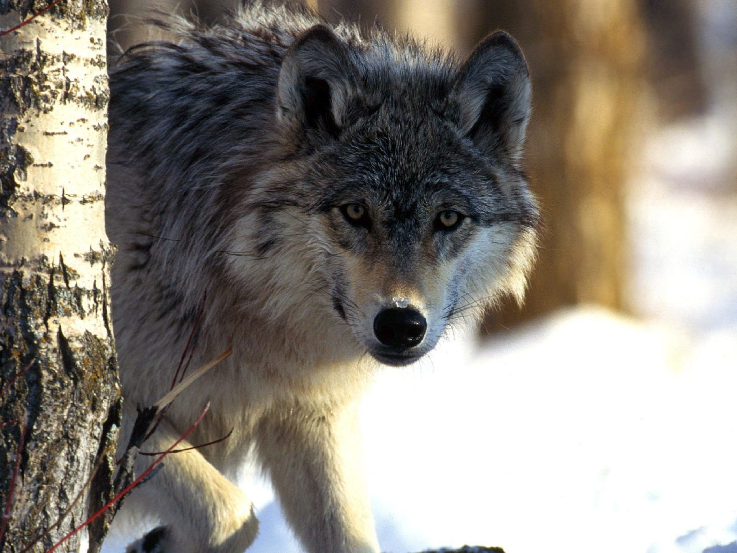 Wolves images wolf HD wallpaper and background photos 2560x1920