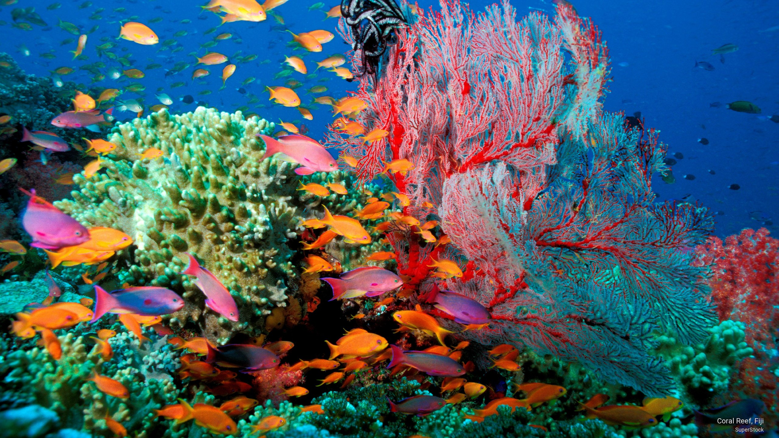 Free coral reef wallpaper wallpapersafari for Disegni coralli marini