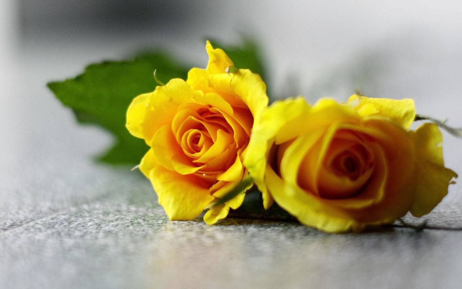 wallpapers Yellow Rose Wallpapers 1600x1000