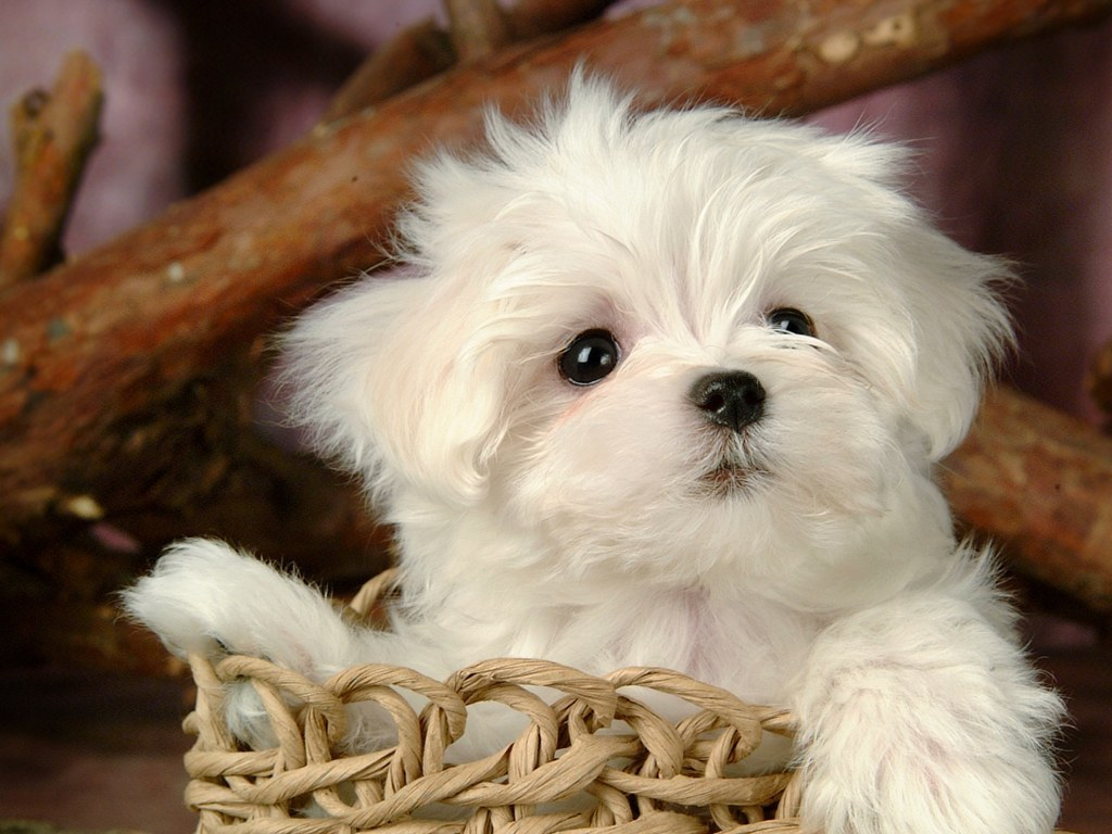 Beautiful Wallpapers For Desktop Beautiful HD puppies Dogs wallpapers 1024x768