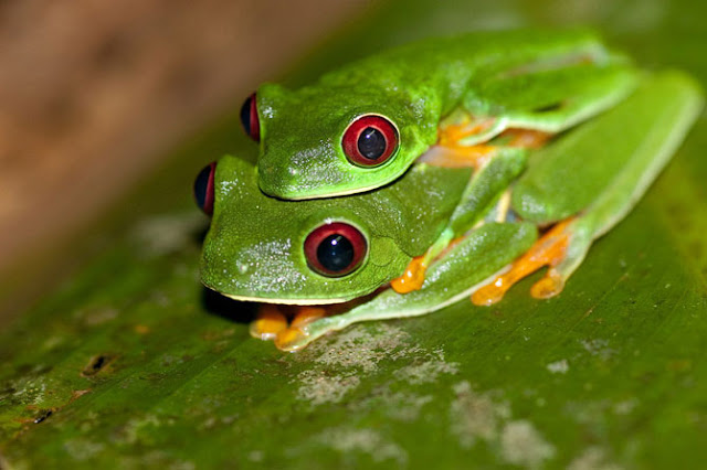 For Beautiful Red Tree Frog Cute Pictures Photos Wallpapers 640x426
