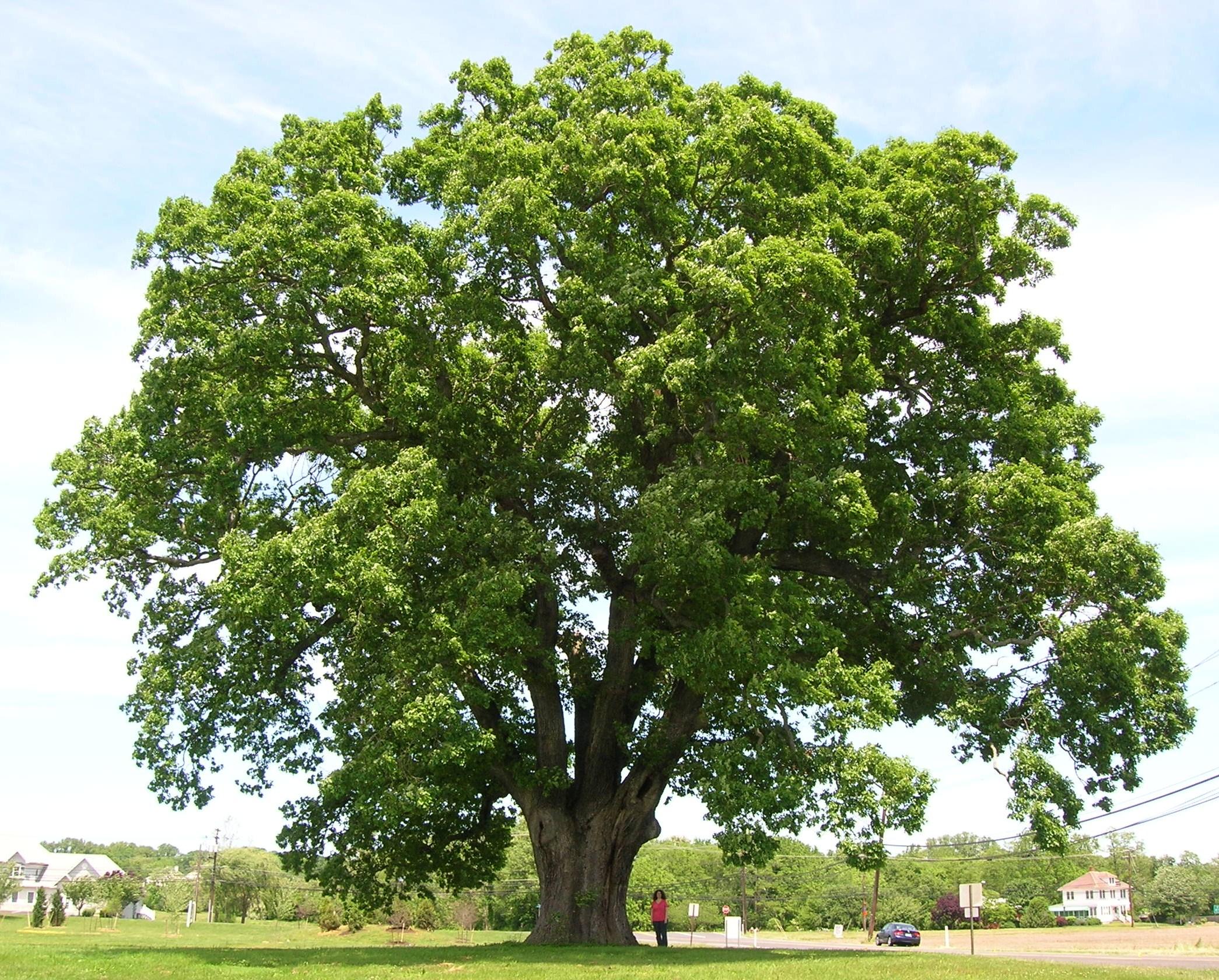Description Keeler Oak Tree   distance photo May 2013jpg 2090x1680