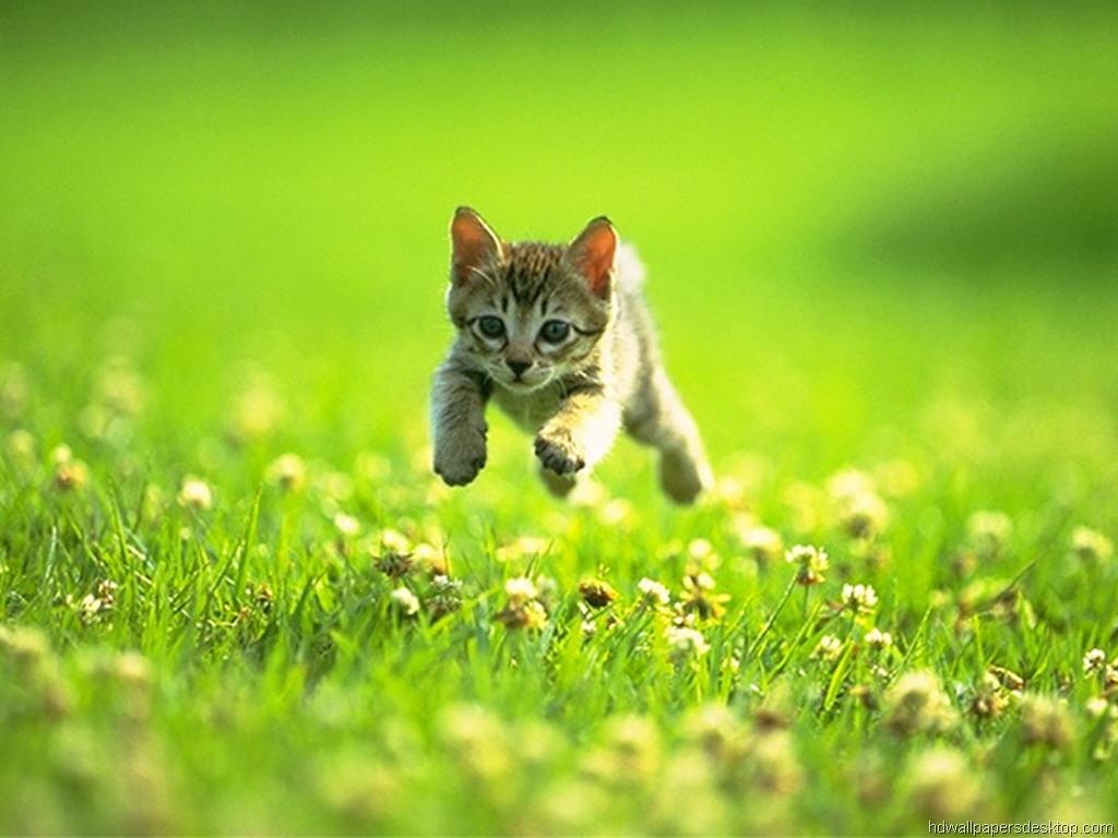Desktop wallpaper cats and kittens wallpapersafari - Kitten wallpaper ...