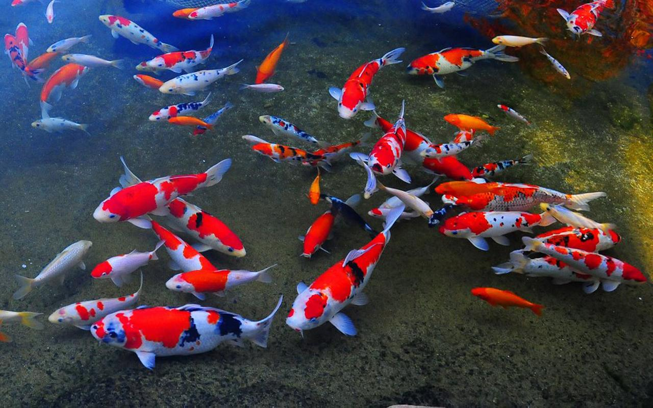 Koi fish live wallpaper wallpapersafari for Koi fish size