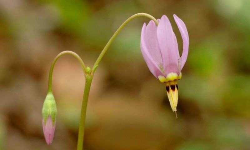Wallpapers Backgrounds   dodecatheon meadia shooting star flower HD 800x480