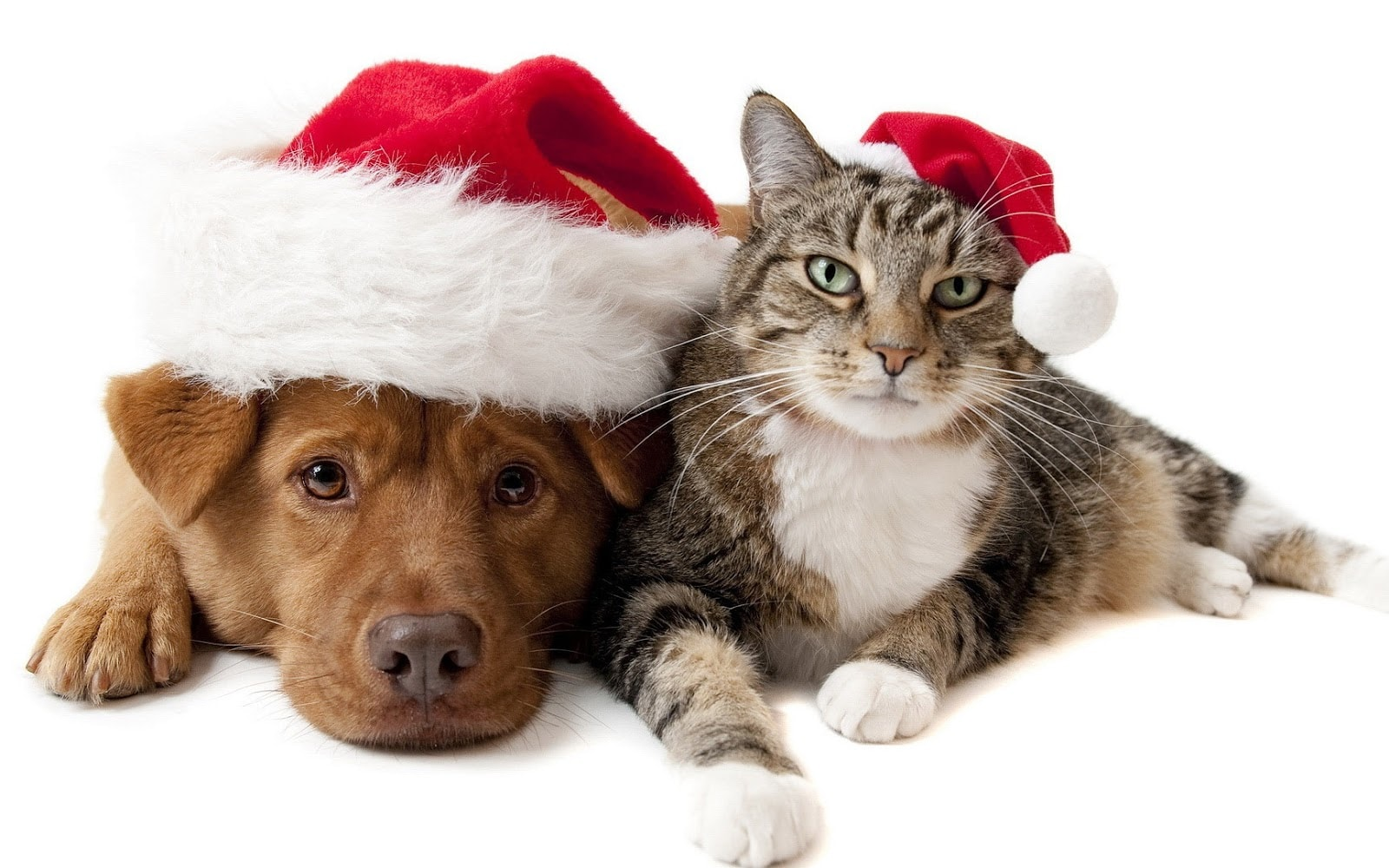 wallpaper with a cat and a dog wearing christmas hats hd cat and dog 1600x1000