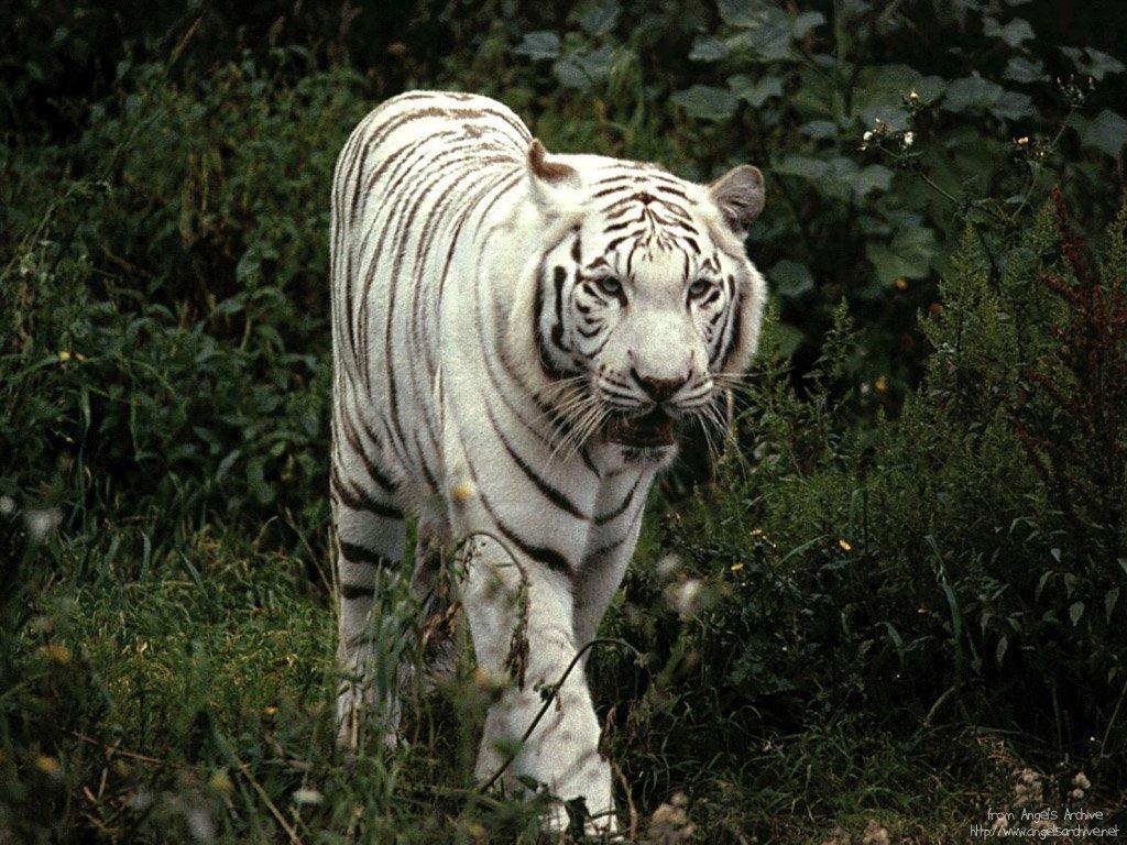 free wallpaper pc computer wallpaper download White tiger 1024x768