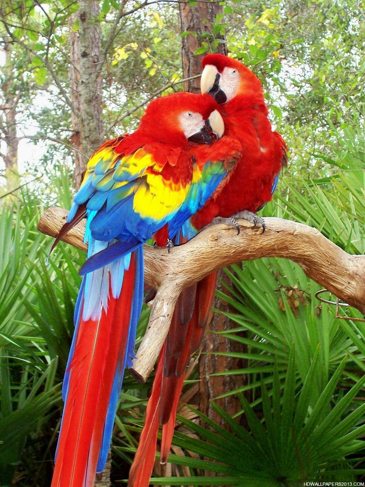photos of birds Love Bird Parrot HD Wallpapers Love Bird 1200x1600