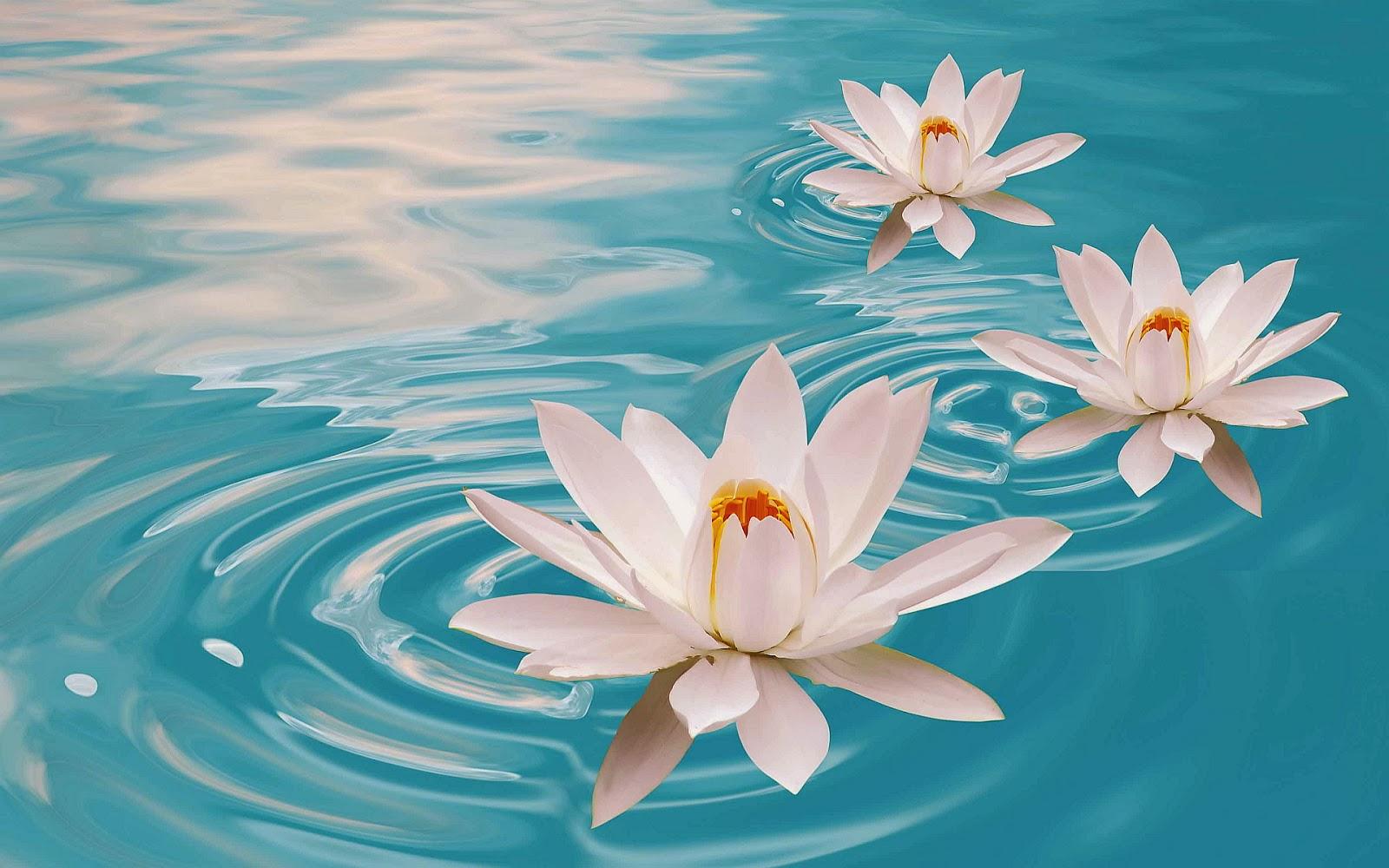 Lotus Wallpaper For Desktop Wallpapersafari