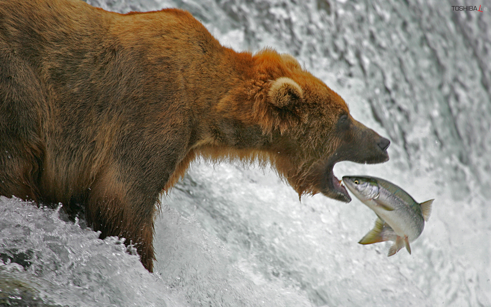 Bear fishing salmon wallpapers and images   wallpapers pictures 1680x1050