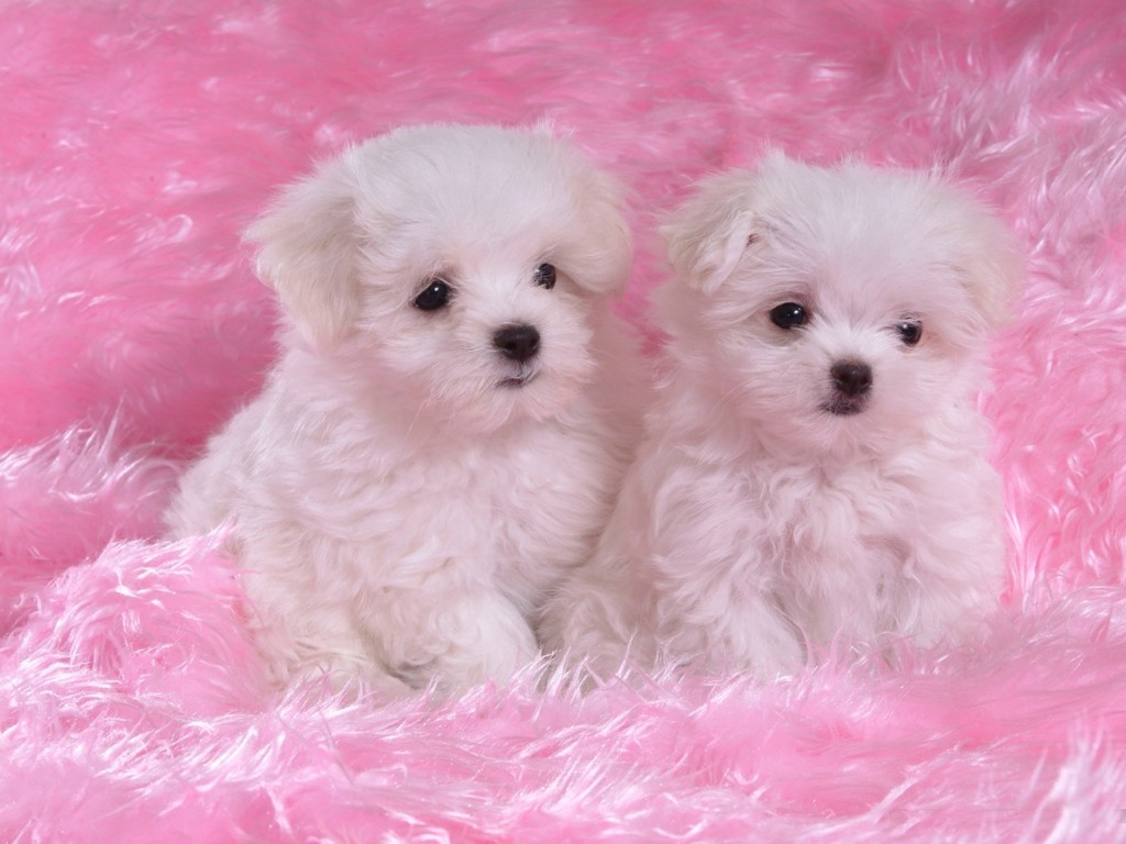 Free Download Cute White Puppies Wallpaper Wallpaper 1024x768 For Your Desktop Mobile Tablet Explore 76 Cute Dogs And Puppies Wallpaper Funny Puppy Wallpaper Cute Puppy Photos Wallpaper Adorable Puppy Wallpapers
