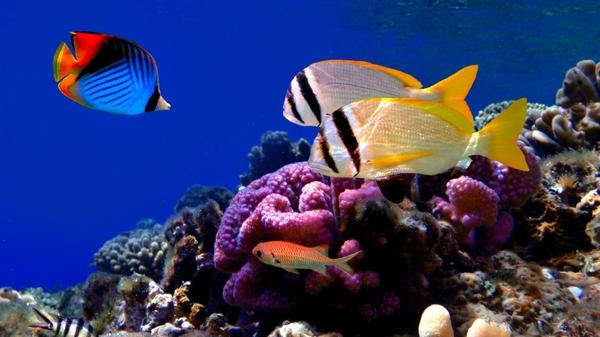 coral reefexotic nature fish coral reef exotic Fish Wallpaper 600x337