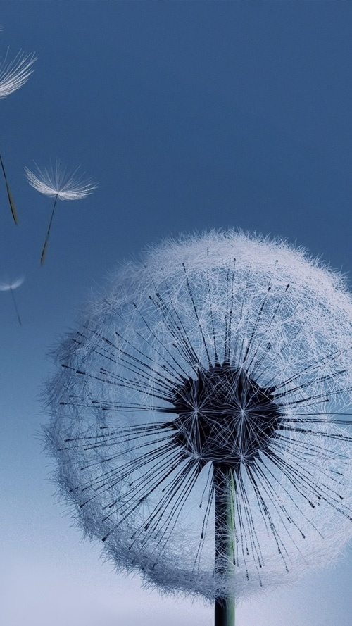 Dandelion Samsung Galaxy S3 Wallpaper Random Things Pinterest 500x889
