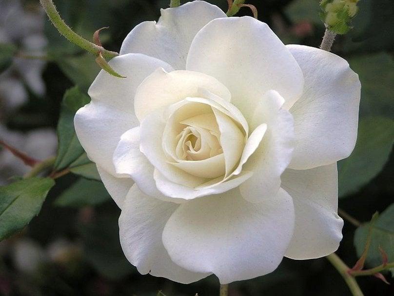 Beautiful White Roses Wallpaper - WallpaperSafari  Beautiful White Rose Wallpaper
