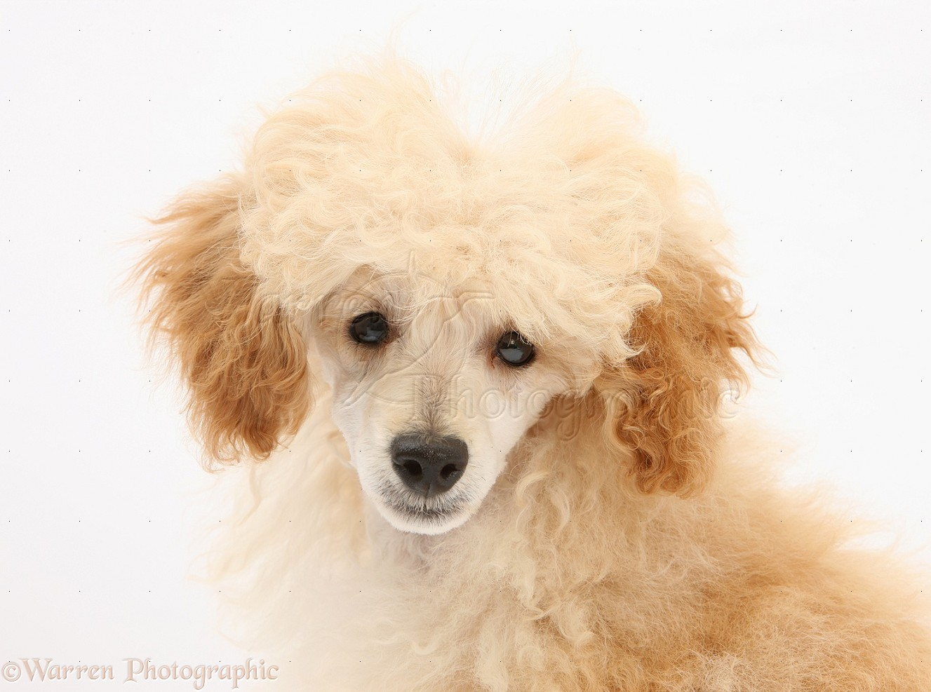 Toy Poodle Puppy Wallpapers 1327x987