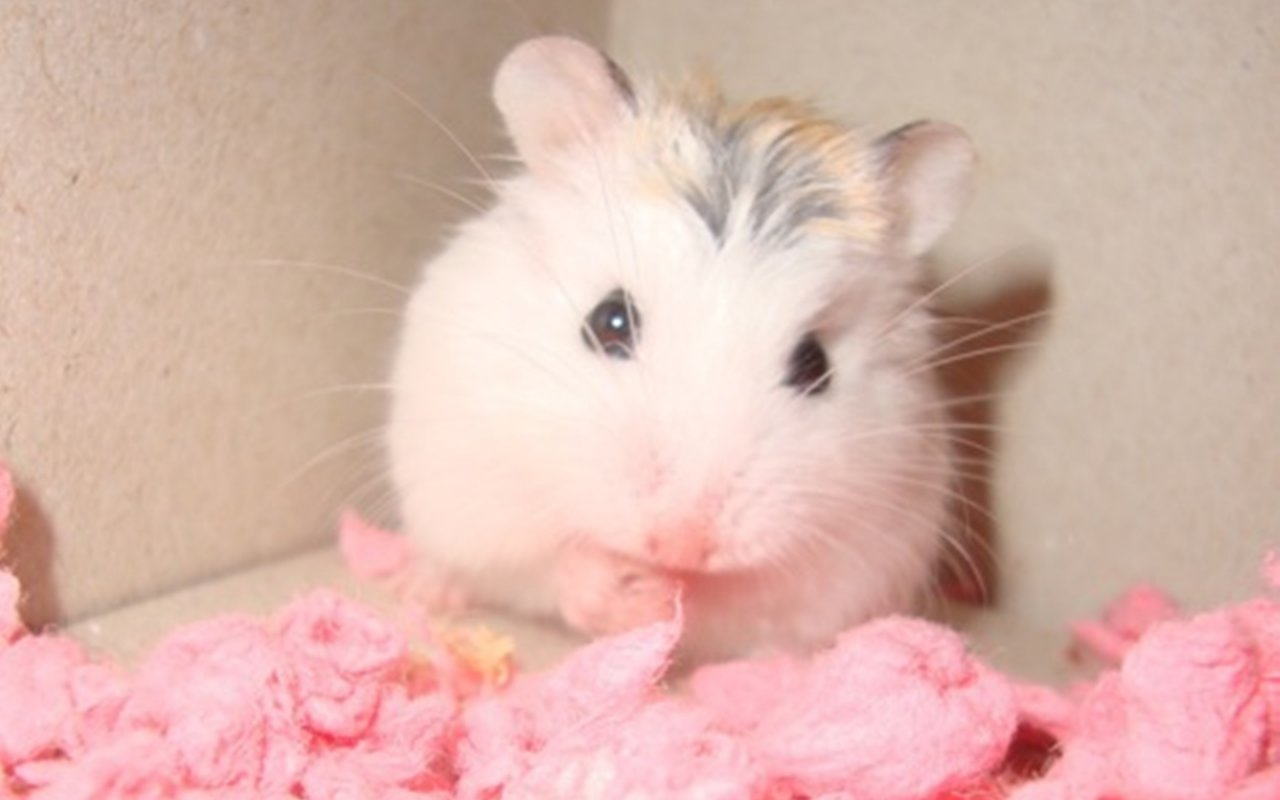 Beauty Pink Hamster Wallpaper Wallpaper ME 1280x800
