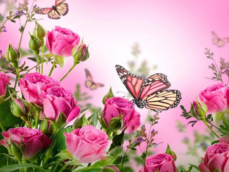 Pink roses flowers butterflies wallpaper flowers Wallpaper 970x727