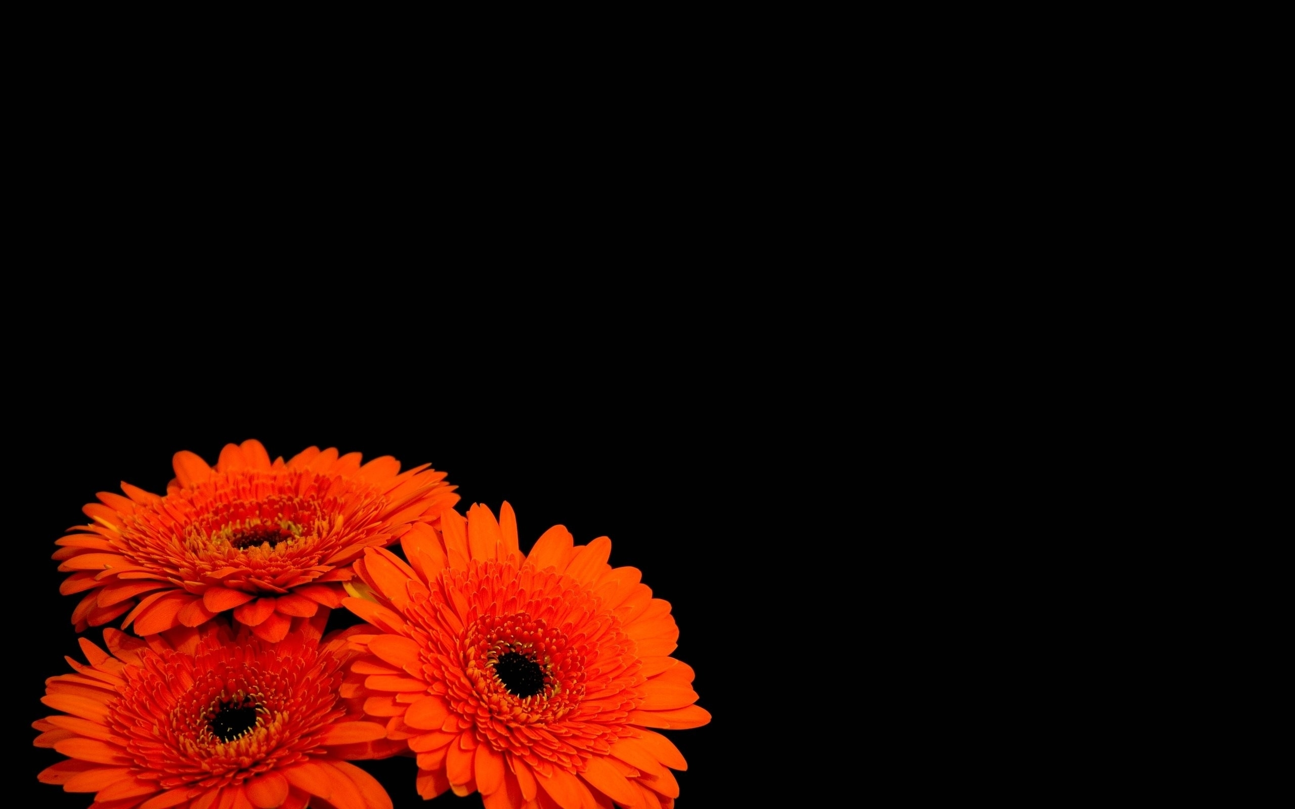 Flowers black background orange flowers HD Wallpapers 2560x1600