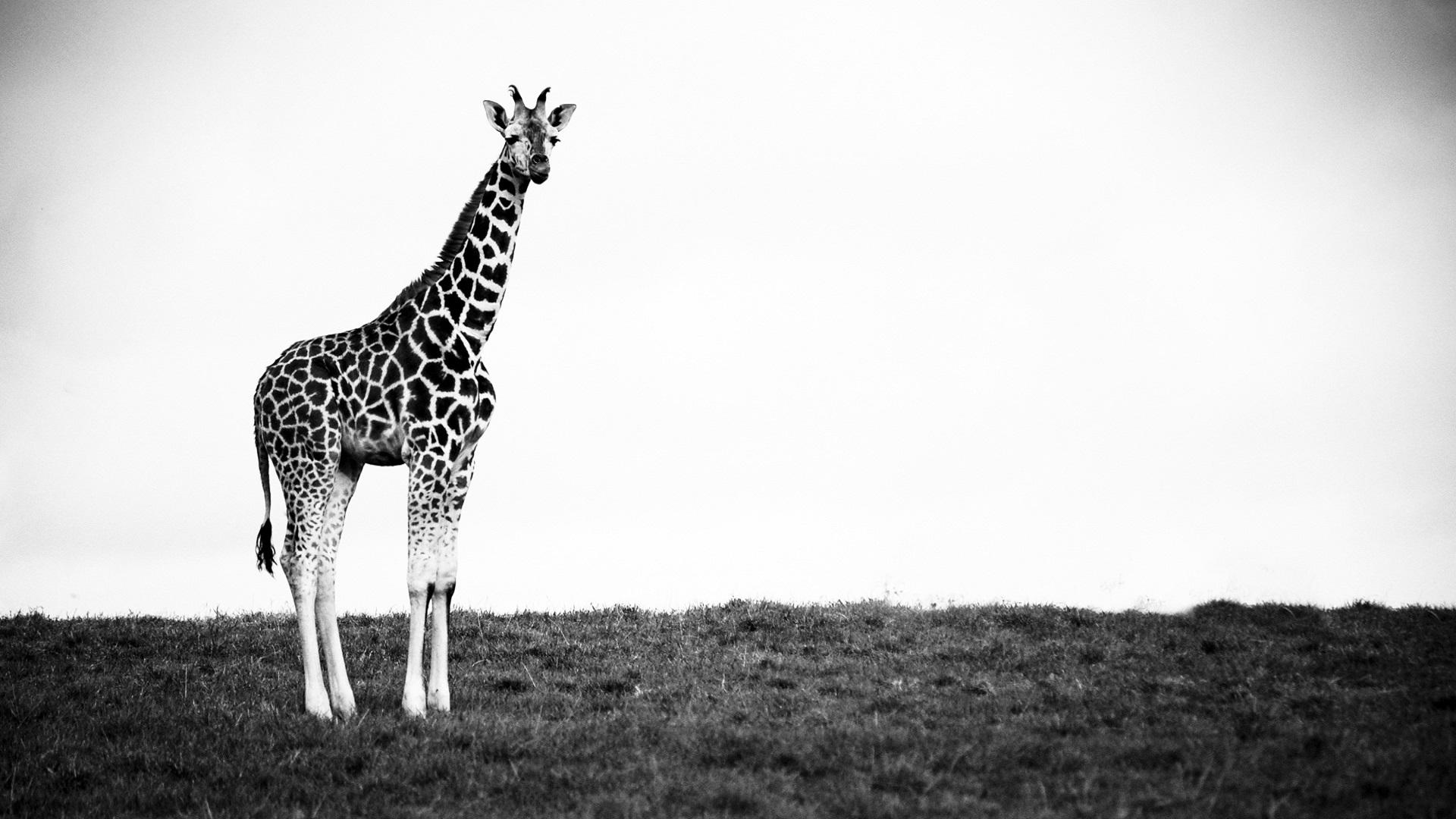 Black and White Giraffe Wallpaper 2066 1920x1080   uMadcom 1920x1080