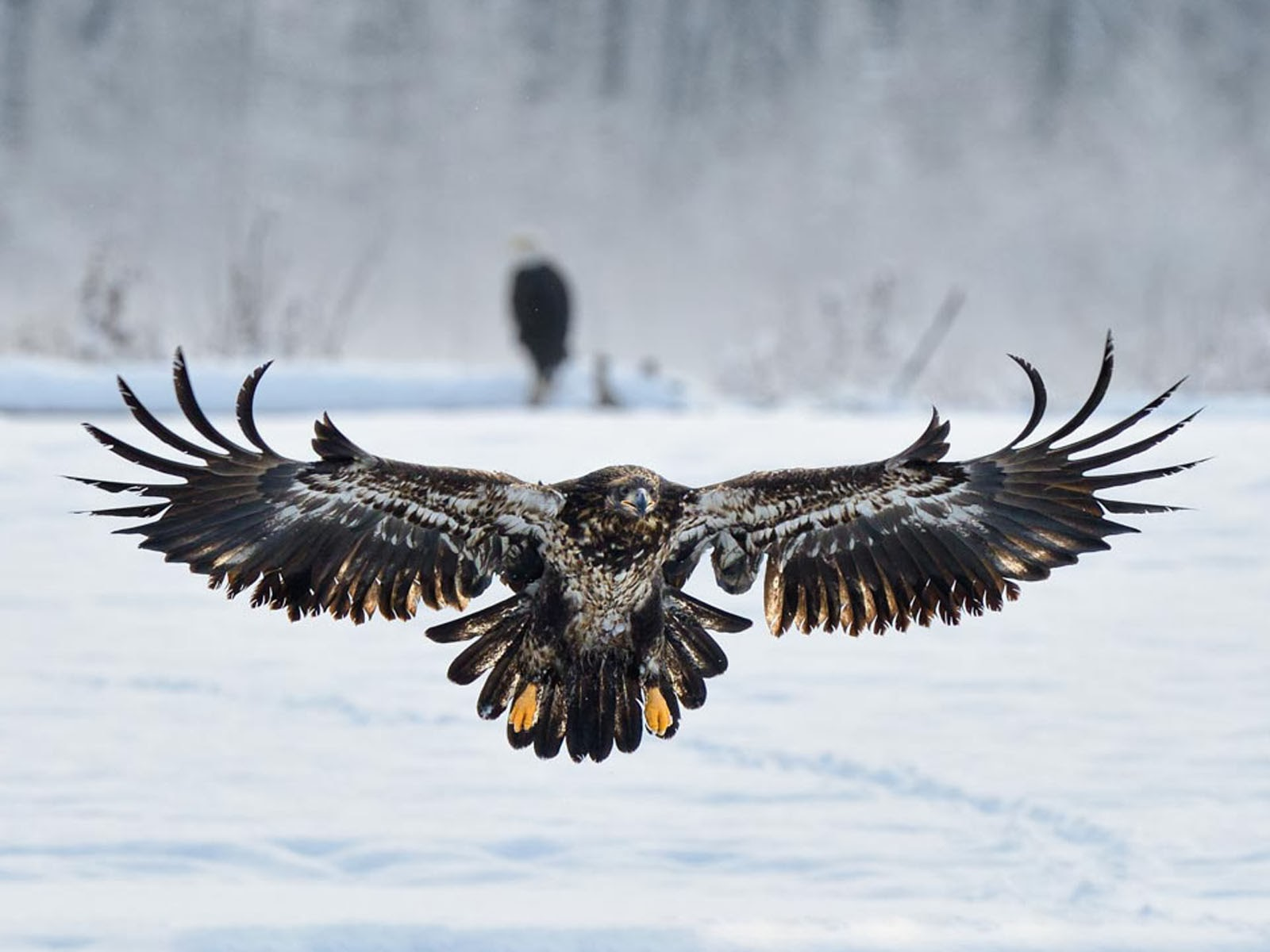 Eagle Wallpapers Backgrounds Photos Images and Pictures for 1600x1200