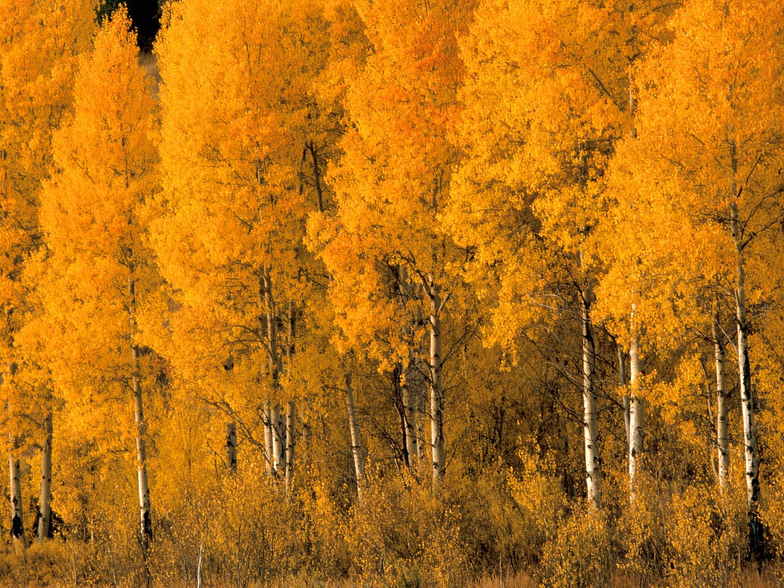 Aspen Tree Wallpaper For Home Wallpapersafari