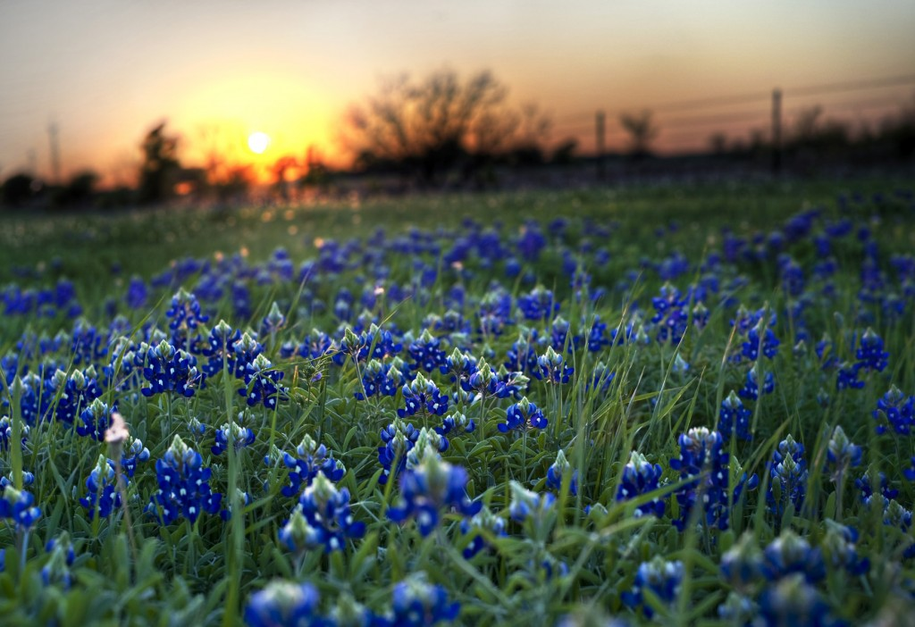 Texas State Flower Bluebonnets Picture Texas Proud 1024x702