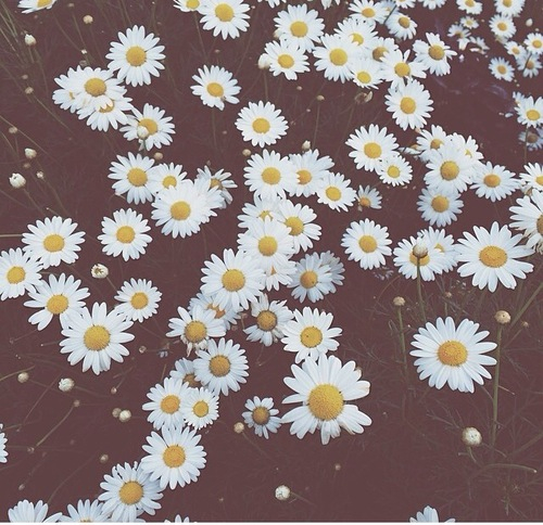 daisy flowers iphone wallpaper Tumblr 500x484