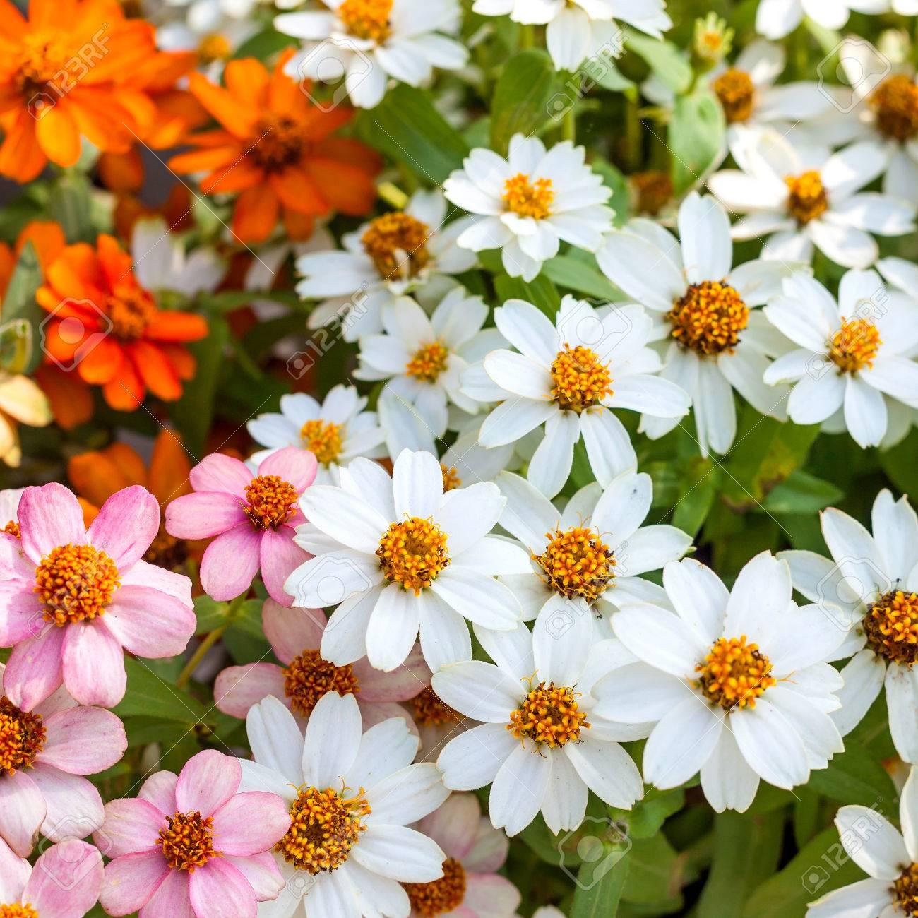 Beautiful White Narrowleaf Zinnia Or Classic Zinnia Flowers 1300x1300