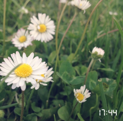 daisy flowers wallpaper Tumblr 500x491