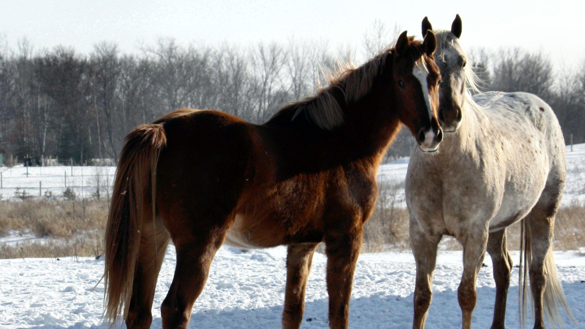 Beautiful Horses wallpaper   ForWallpapercom 1920x1080