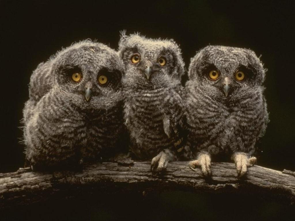 Free owl wallpaper for desktop wallpapersafari owl hd desktop wallpapers elsoar 1024x768 voltagebd Images