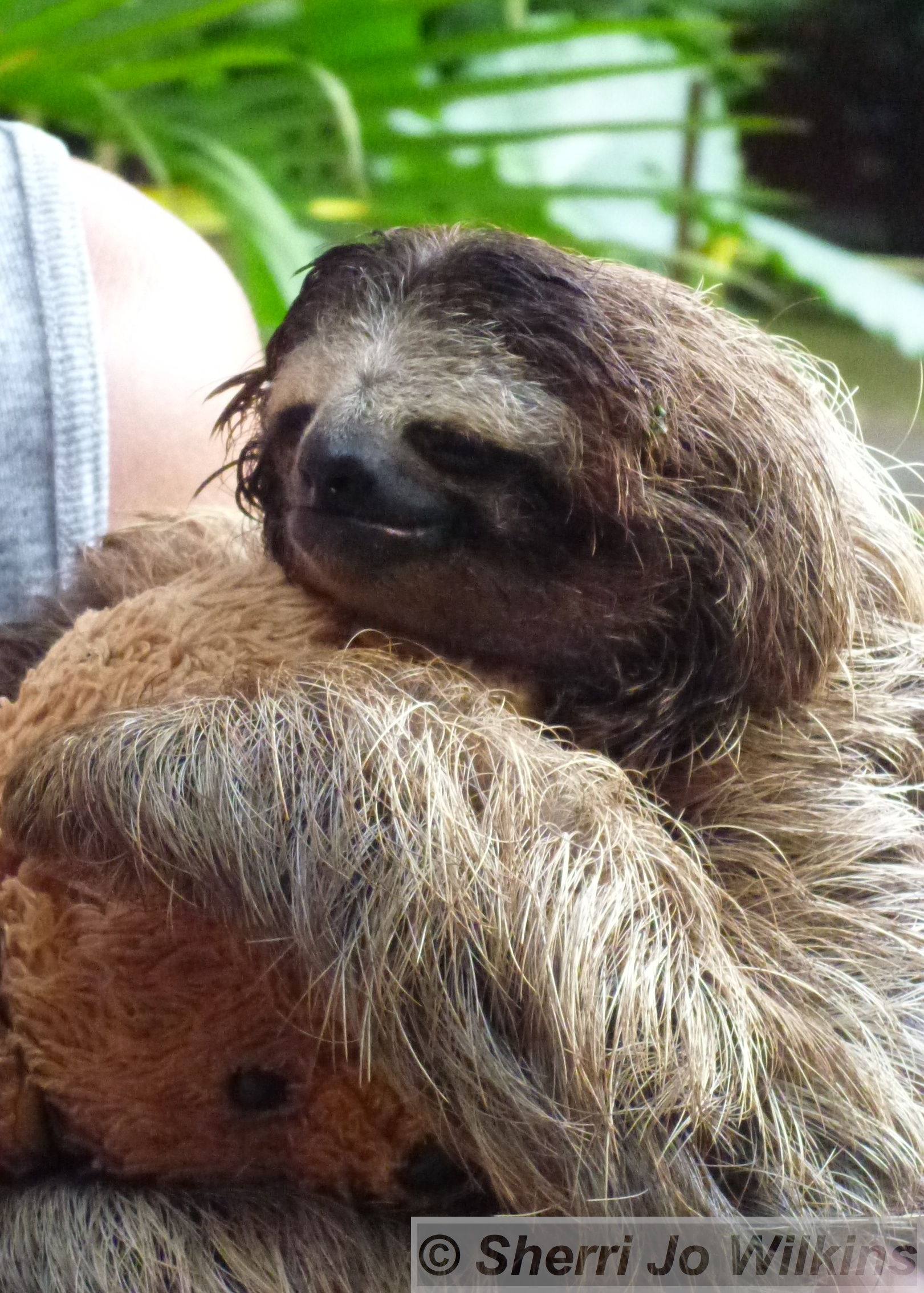 Funny sloth wallpapers wallpapersafari - Funny sloth pics ...