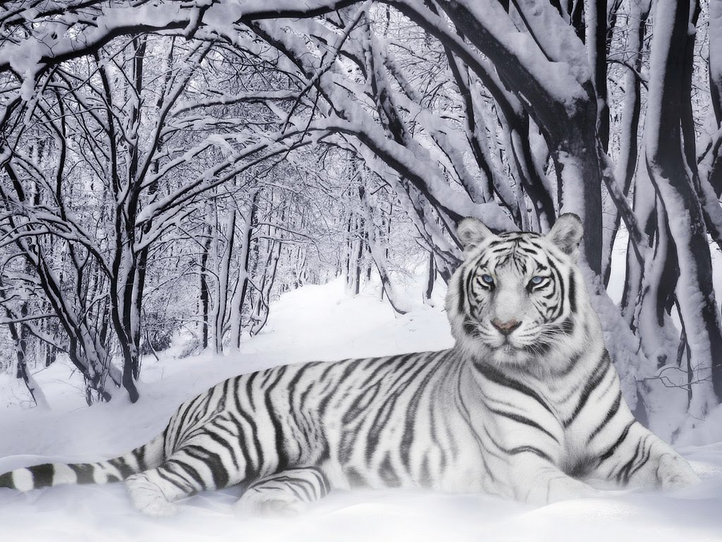Animals Zoo Park White Tiger Wallpapers for Desktop 1024x768