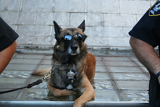 of Cool Police Dog Photo on this Dogs Wallpapers Backgrounds website 530x354
