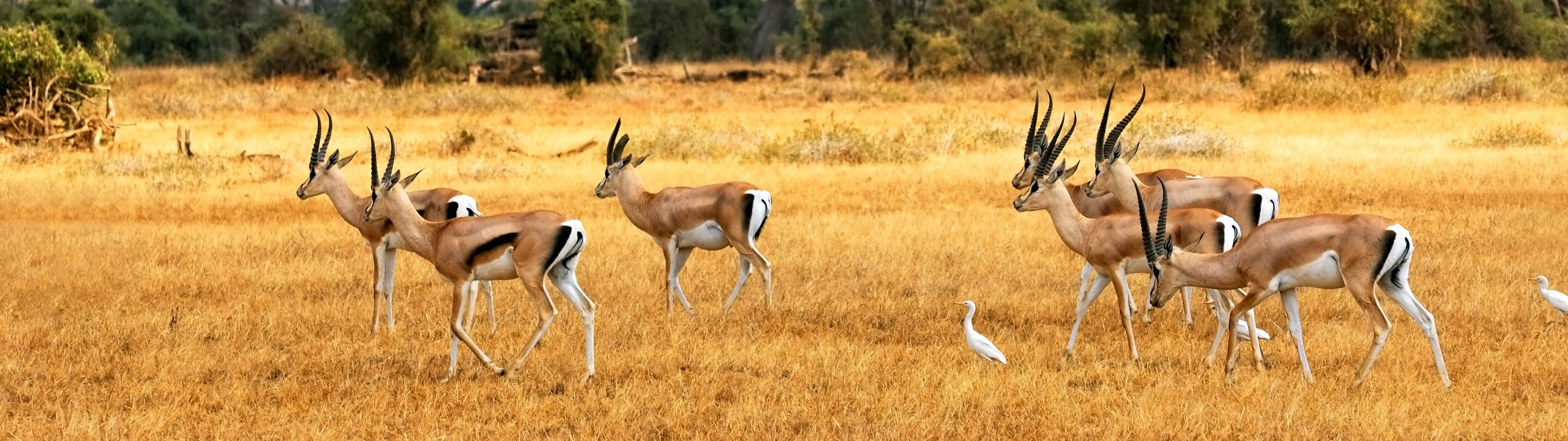 Antelopes Desktop Background Wallpaper Download 7680x2160