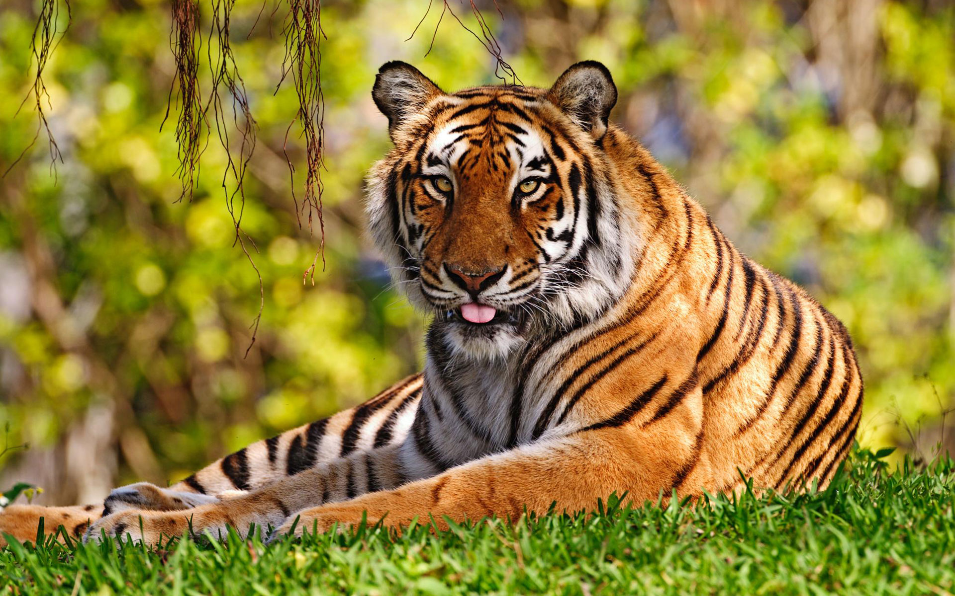 Tiger Widescreen Wallpapers HD Wallpapers 1920x1200
