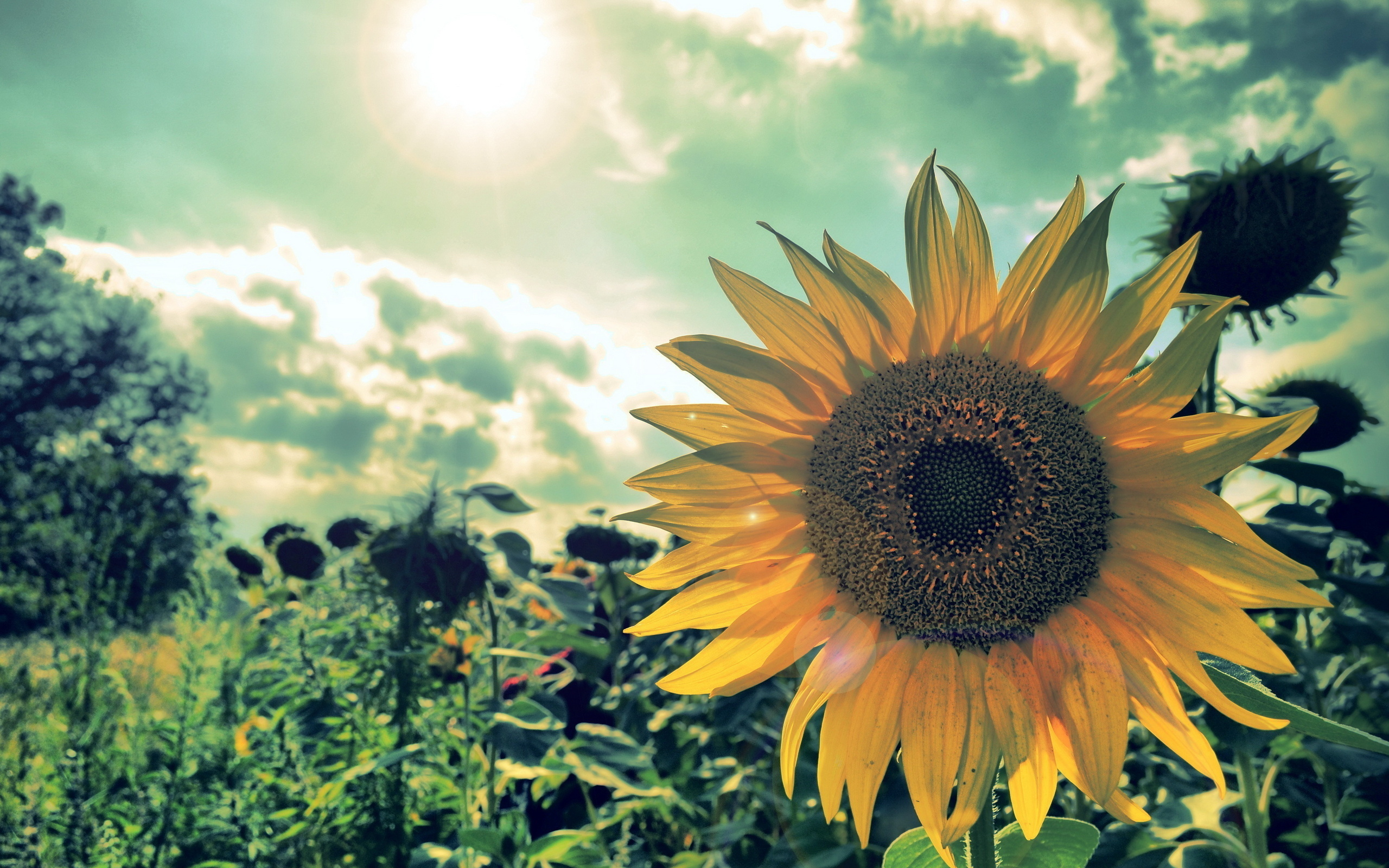 Wallpaper a sunflower field the rays light nature large 2560x1600 2560x1600
