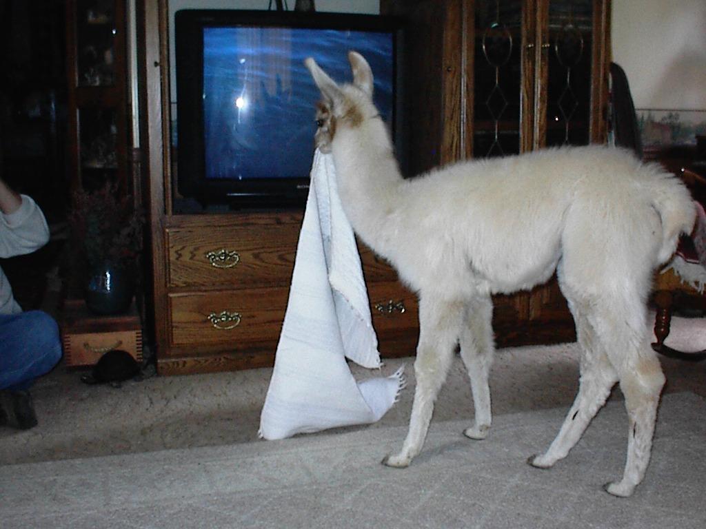 HD Llama Wallpaper