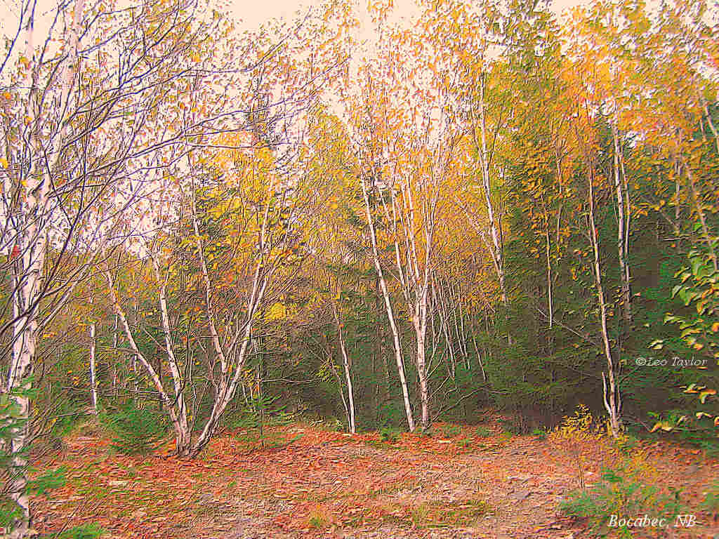 Brich trees in autumn color   1024x768 1024x768