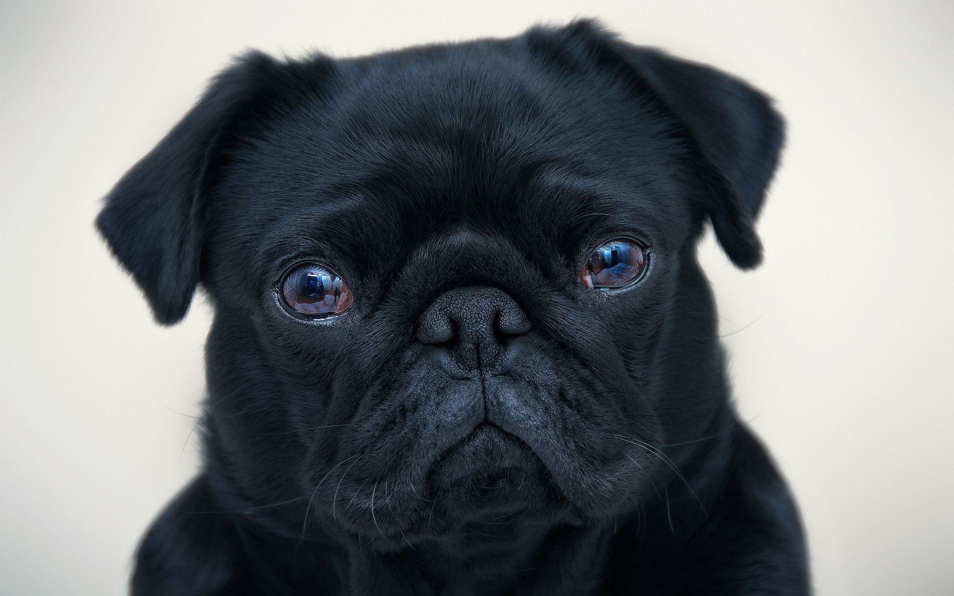 Black pug wallpaper 20673 1920x1200
