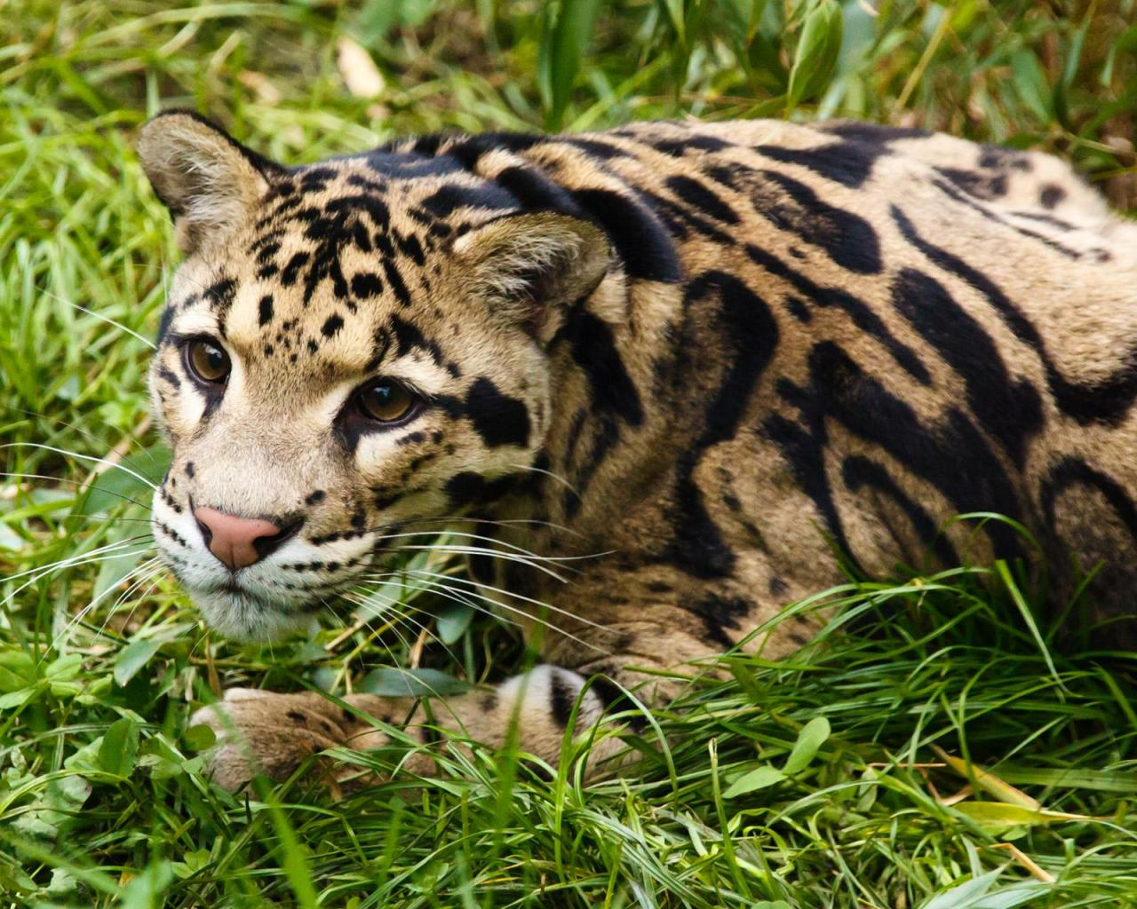 CLOUDED LEOPARD photos   wallpapers the fun bank 1280x1024
