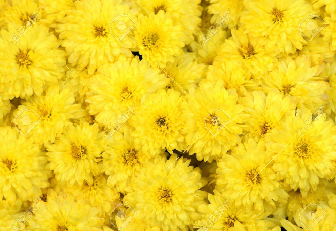 Yellow Mums Background Versatile Image Suitable For A Variety 1300x896
