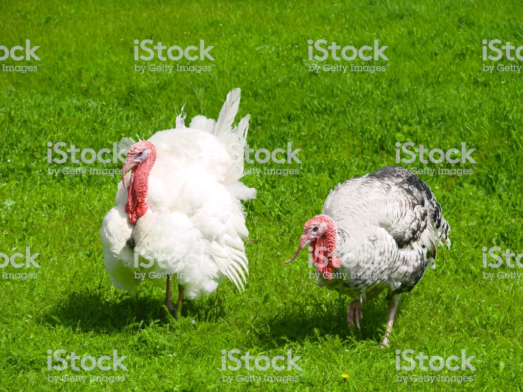 Turkey Male Or Gobbler Grazing On A Green Grass Background Stock 1024x768