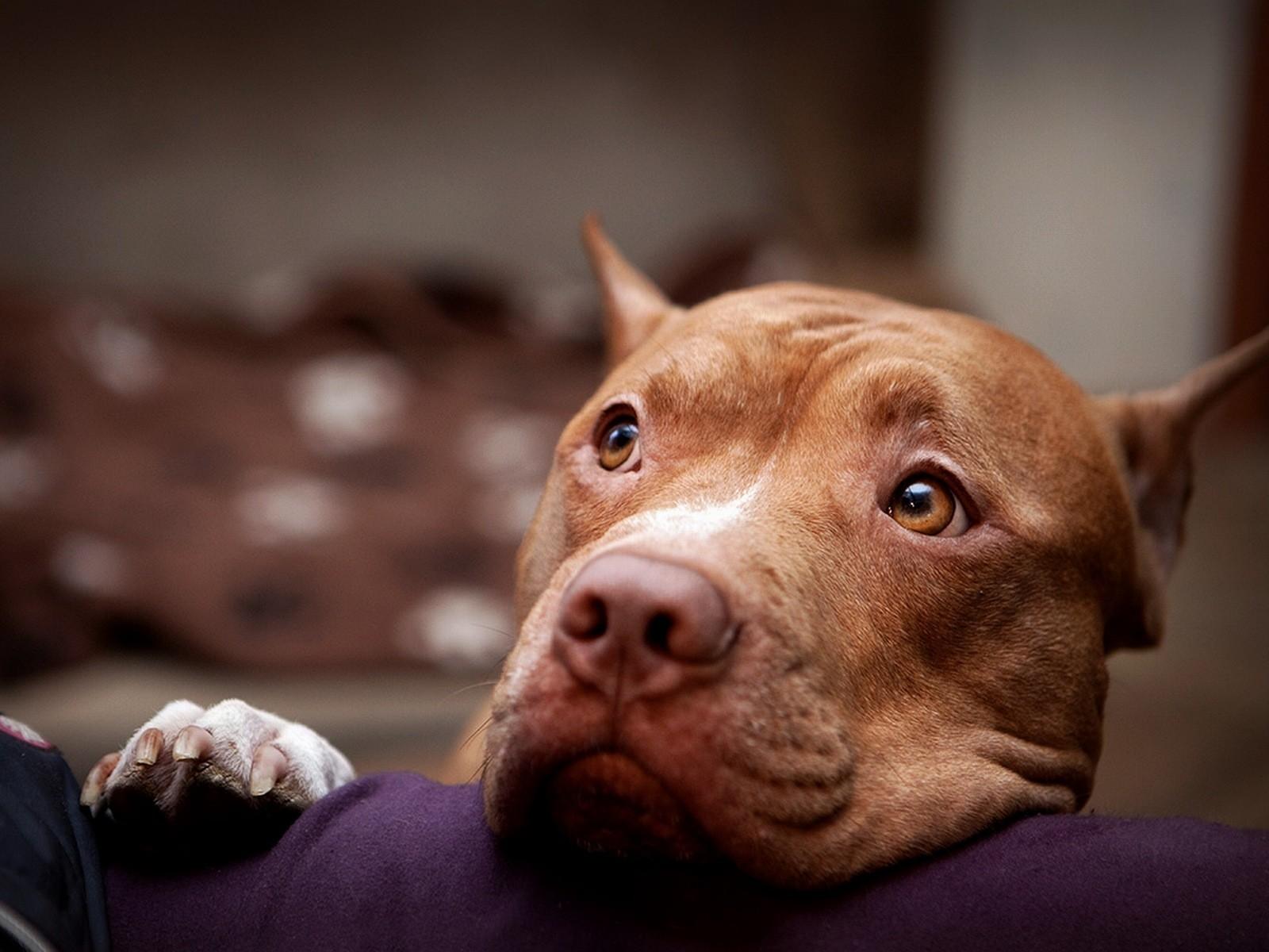 Pitbull Dog Hd Wallpapers And Desktop Download 1600x1200