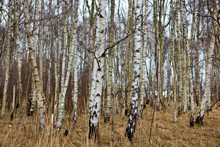 Birch Tree Wallpaper   Desktop Backgrounds 920x613