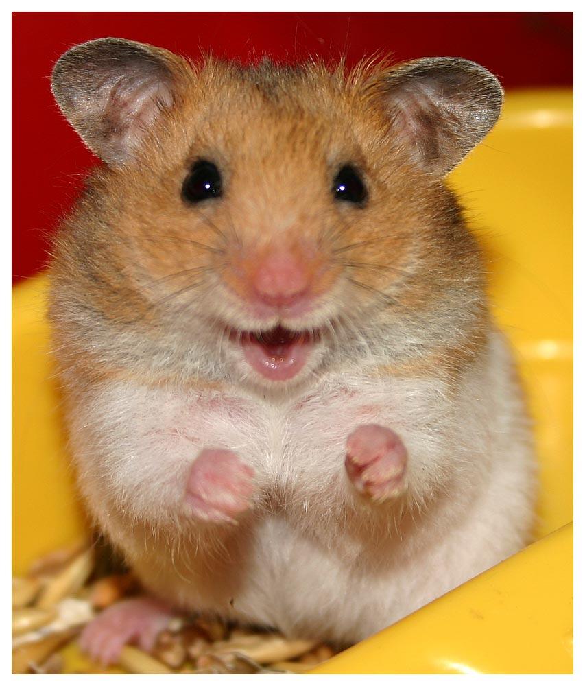 Cute Hamster Face Wallpaper Wallpaper ME 853x1000