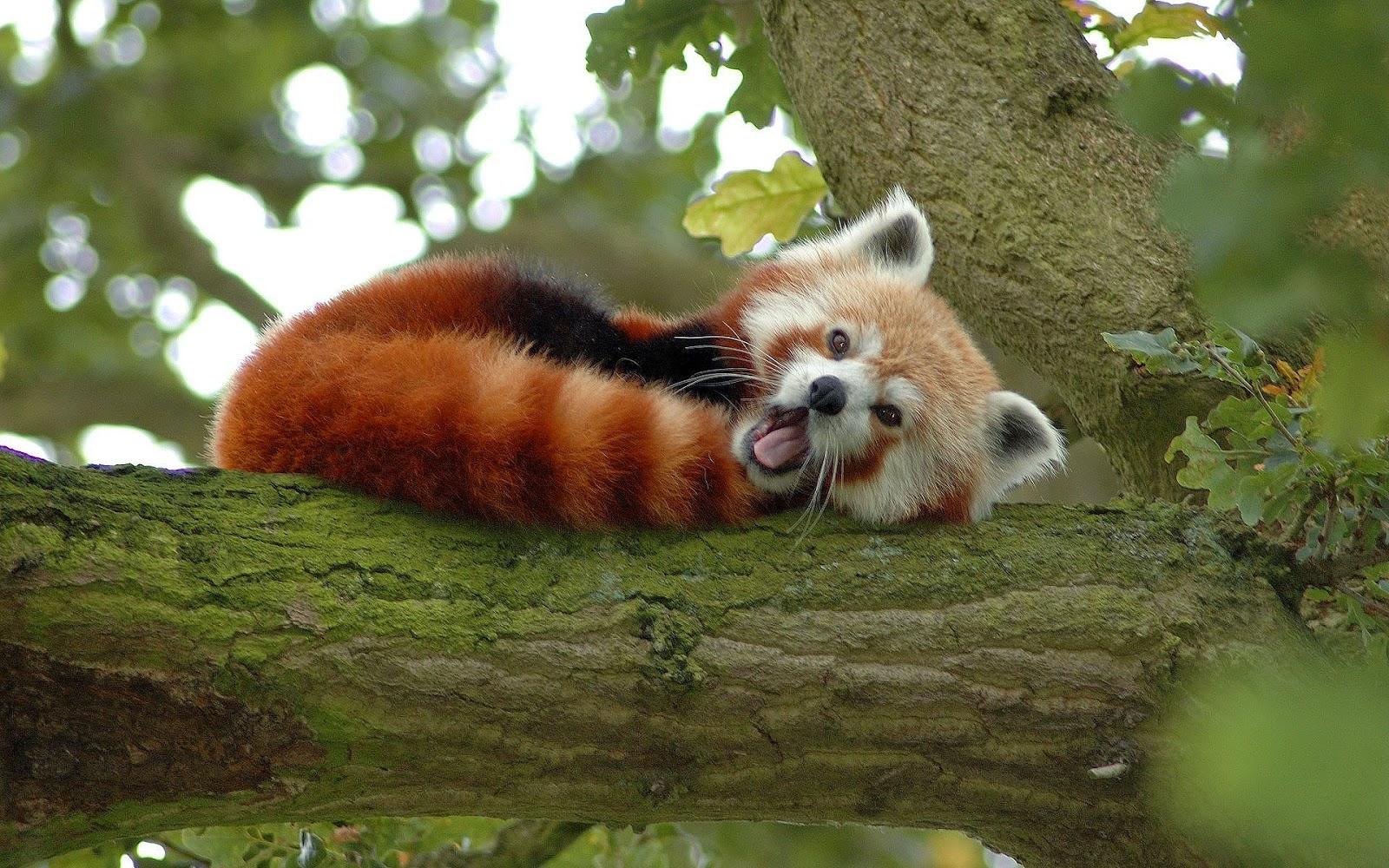 [37+] Red Panda Wallpaper HD on WallpaperSafari