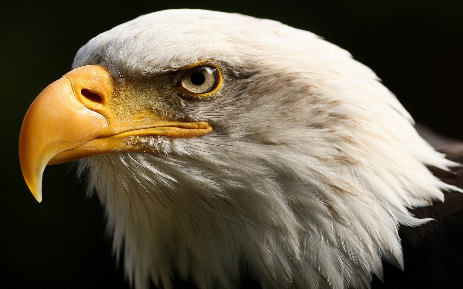 Eagle HD Wallpapers 1600x1000