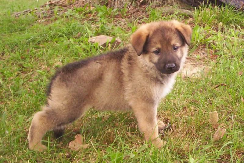 COOL WALLPAPERS German Shepherd Puppy 800x533